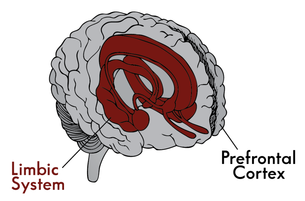 Picture simplifying the brain down to two main parts, the limbic system and the prefrontal cortex.